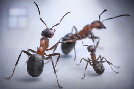 formiche in cas