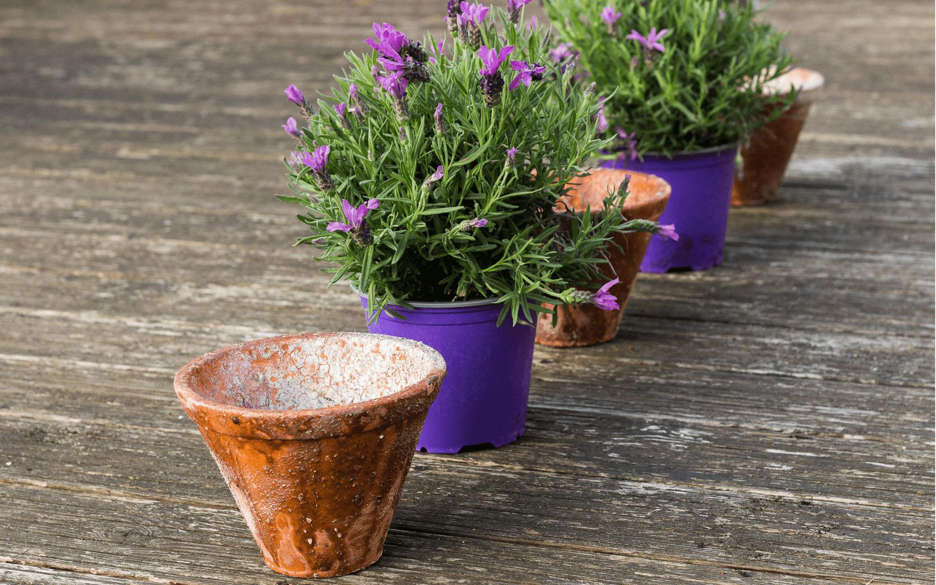 Piante contro zanzare great piante erbacee perenni alla famiglia delle lamiacee e originarie - Rimedi contro le zanzare in giardino ...
