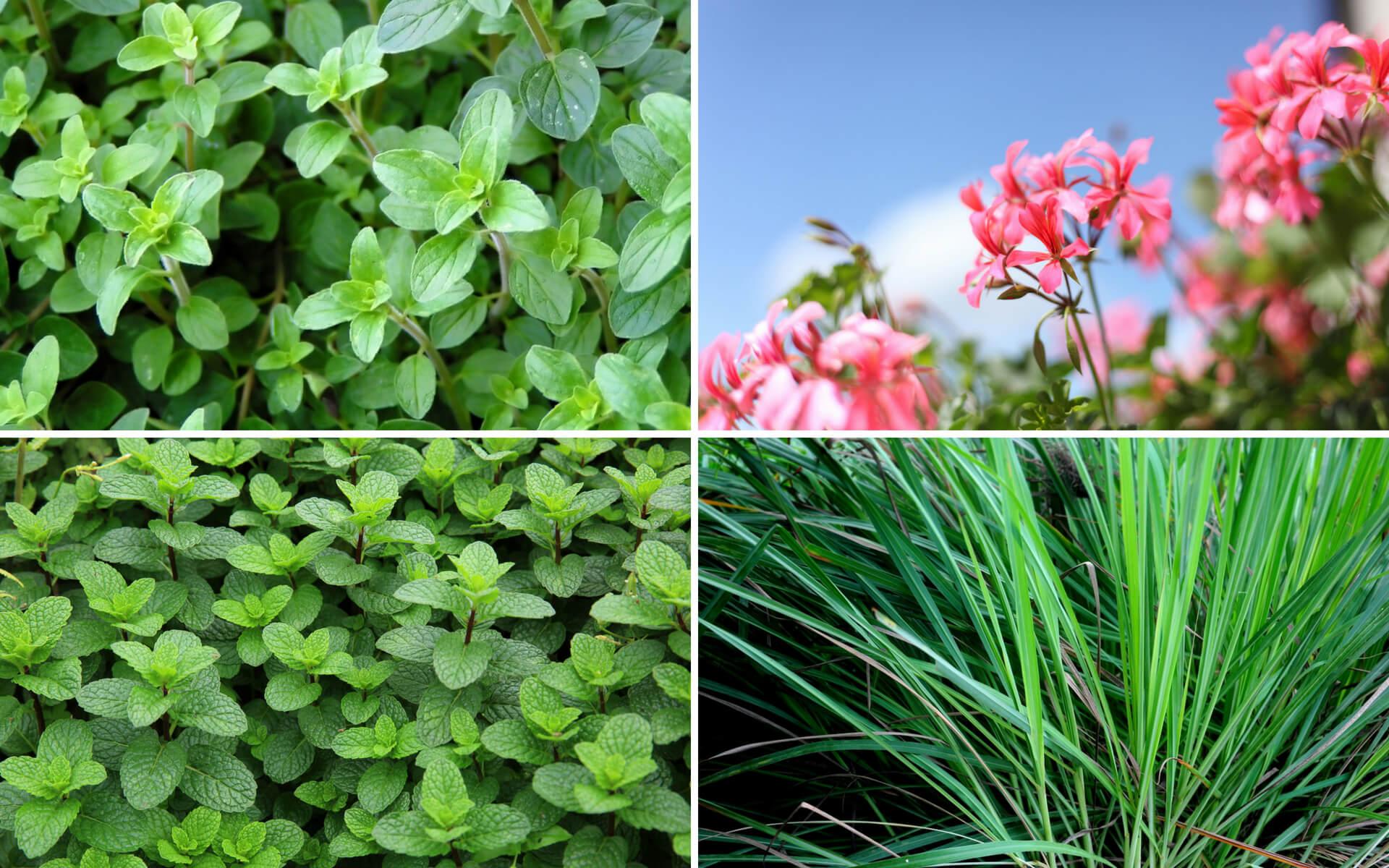 Le migliori piante e i fiori per tenere lontane le zanzare dal proprio giardino o dal proprio terrazzo