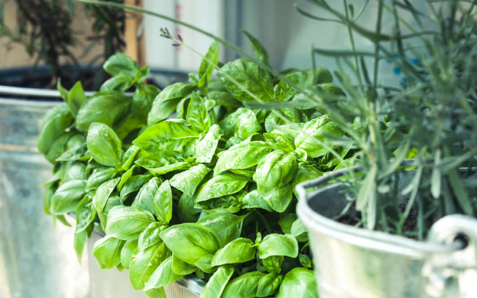 Il basilico e le piante aromatiche sono un modo naturale per cacciare le cimici da casa